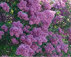 Flowering Shrubs New England - pruning spring flowering shrubs whav