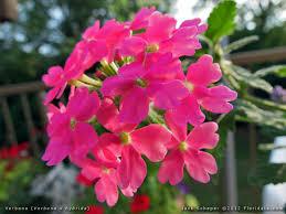 verbena flower verbena x hybrida