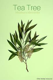 tea tree herb uses side effects and health benefits