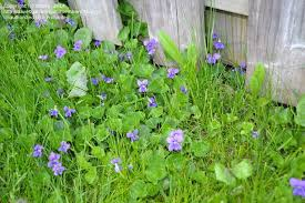 Identify Flowers - plant identification closed please identify purple flower weed