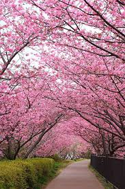cherry blossom trees pictures images and stock photos istock