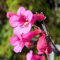 arizona flowers arizona flowers wildflower pictures photos information