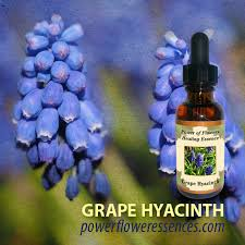 Hyacinth Flower Grape Hyacinth Flower Essence Isha Lerner Healing Remedy