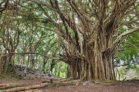 picture of the day the ancient banyan tree twistedsifter
