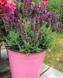 Mosquito Repellent Plants Help Or Hype Alaska Master Gardener Blog