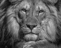 lion photography art print close up lions home decor big