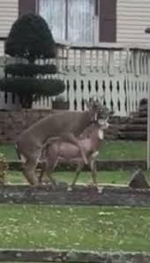 hilarious moment confused randy buck tries to hump deer shaped