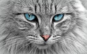 eyes sensitive to light at night comparing vision cats vs humans the purrington post
