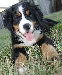 australian shepherd lab mix for sale bernese mountain dog info temperament puppies training pictures