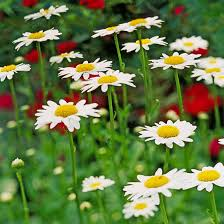 best white flowers for your garden design color perennials and