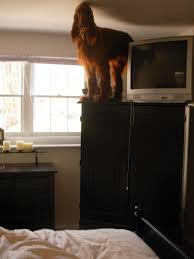 Dog Armoire Furniture Woke Up In The Morning To Find My 80 Pound Irish Setter On Top Of