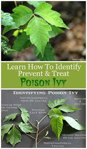 Poisonous Garden Flowers by Best 25 Poison Ivy Plants Ideas On Pinterest Poison Oak Plant