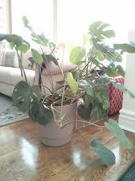 monstera deliciosa house plant journal u2014 house plant journal