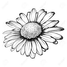 beautiful monochrome black and white daisy flower isolated