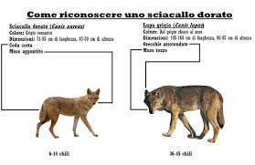 zoology what s the difference between a fox a wolf a hyena and