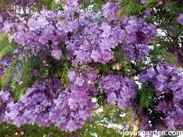 flower friday santa barbara flowering trees