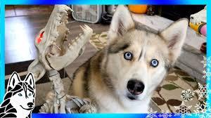 huskies react to howling bone dog dogs react scary halloween
