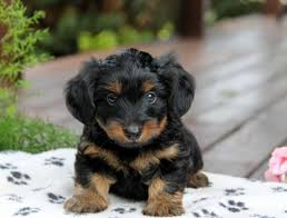 short haired dorkie mixes famous wire haired terrier yorkie mix ideas electrical circuit