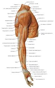 Interactive Muscle Anatomy Muscle Of The Arm Massage Therapy Pinterest Anatomy Muscles