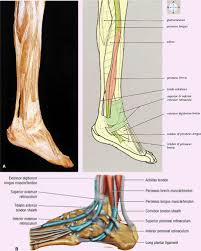 Collateral Ligaments Ankle The Ankle And Foot Musculoskeletal Key