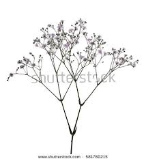 baby s breath flowers babys breath flower stock images royalty free images vectors