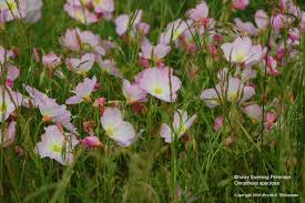 Pink Primrose Flower - us wildflower pink ladies showy evening primrose pink primrose