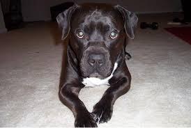american pitbull terrier game bred bloodlines cowboy bloodline pitbulls go pitbull dog forums