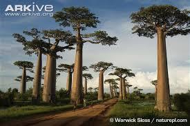 arkive arkive s top ten trees