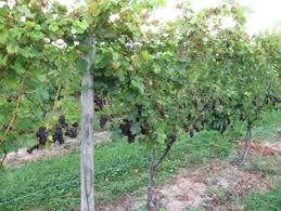 Grape Trellis For Sale Vineyard Trellis And Training Winemaker Magazine