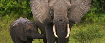 african elephant conservation and the ivory poaching crisis the