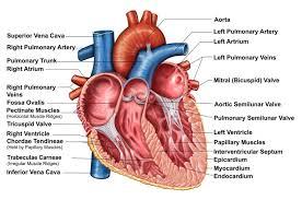 Human Body Muscles Images Heart Wall Epicardium Myocardium And Endocardium