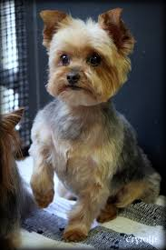 hair accessories for yorkie poos yorkie terrier dog grooming haircut pictures cryrolfe dogs