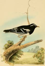 च त र illustrations of indian ornithology containing fifty