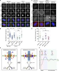 the ska complex promotes aurora b activity to ensure chromosome