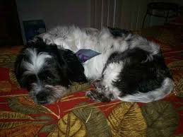 affenpinscher havanese mix max the havanese mix designer dog photo gallery 6749