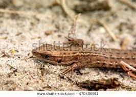 Seeking Lizard Macro Lizard Early Nature Stock Photo 470406878