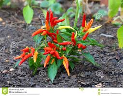 fresh growing ornamental pepper plant stock photo image 44114277