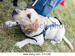 Training A Guide Dog For The Blind Guide Dog Puppy Harness Stock Photo Royalty Free Image 68717257