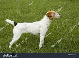 australian shepherd jack russell terrier jack russell terrier dog side view stock photo 195203471