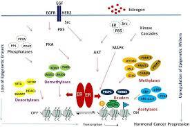 cancers free full text epigenetics of estrogen receptor