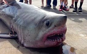 Great White Shark Attack Cape Cod - family goes fishing for tuna lands 483 pound porbeagle shark off