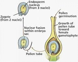 Life Cycle Of A Flowering Plant - flowering plant reproduction