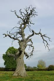 dead oak tree drawing clipartxtras