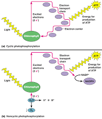 The Light Reactions Of Photosynthesis Use And Produce 102 The Light Dependent Reactions Photophosphorilation Biology