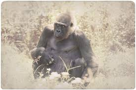 heart wrenching reasons why gorillas are endangered