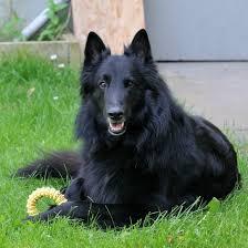 belgian sheepdog groenendael rescue breeds archive championshipbreeders