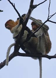 15 fascinating facts about proboscis monkeys you didn u0027t know