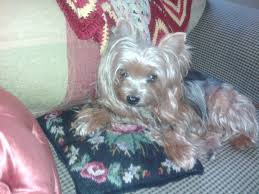 75 best yorkies and porties and shih tzu s images on