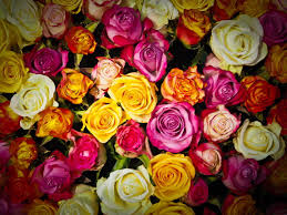 multicolored roses multicolored lot hd wallpaper wallpaper flare