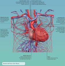 Right Side Human Anatomy 4 The Thorax Basicmedical Key